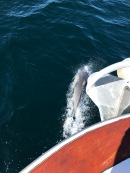 Dolphin riding the bow